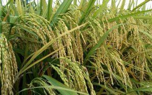 Gabungan teknologi pertanian tepat dan data raya mampu pendekkan masa…